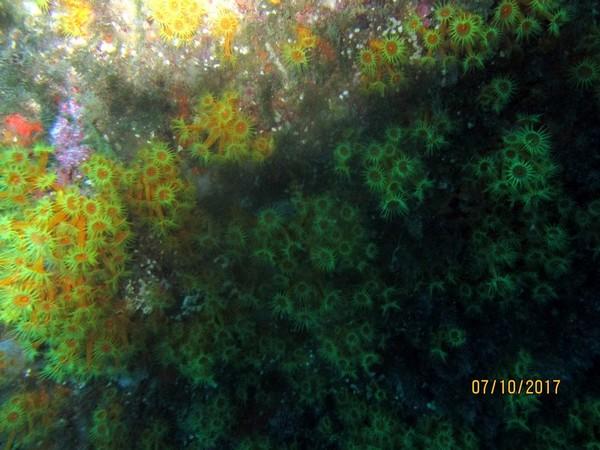 Anemone encroutante jaune